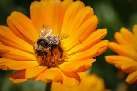 unity small flower: bumblebee collecting pollen from an orange flower