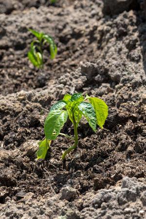 bush pepper: bush pepper on a bed in the sun