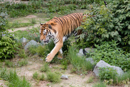 cruel zoo: Tiger emerges from behind a bush along the trail Stock Photo