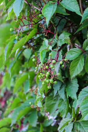 thicket: thicket of leaves and fruits of wild grapes Stock Photo