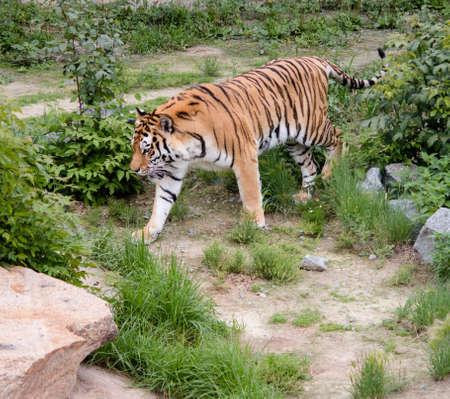 cruel zoo: big tiger calmly walking on the trail Stock Photo