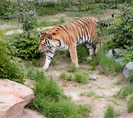 tigresa: tigre grande con calma caminando en el sendero
