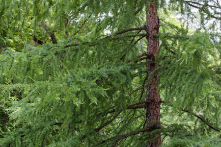 pinaceae: trunk and branches of a larch close-up Stock Photo