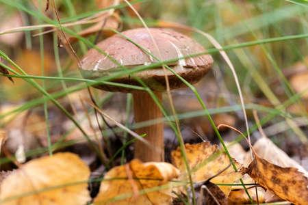 boletus mushroom: Boletus mushroom growing among the grass in autumn Stock Photo