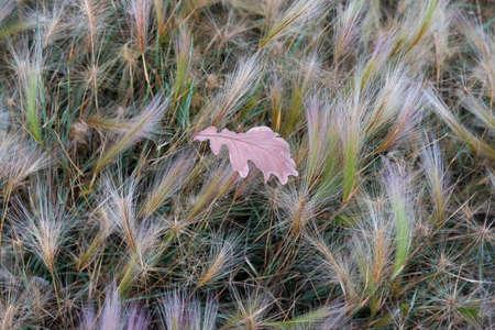 lies down: oak leaf lies on the grass stipa