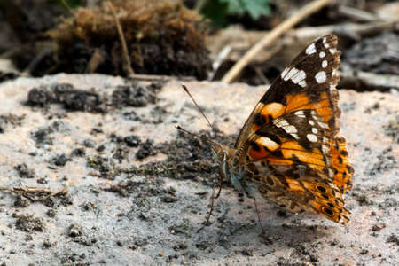 hexapod: butterfly sits with the lifted wings on stone Stock Photo