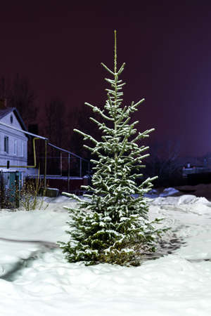 fir trees: fir tree growing in the snow in winter near the house in the village Stock Photo
