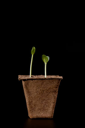 peat pot: peat pot with seedlings on a dark background