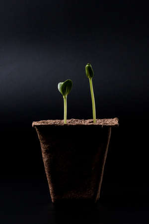 forestation: peat pot with seedlings on a dark background