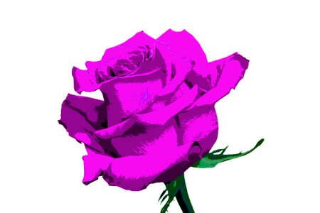 purple rose: purple rose flower isolated on white