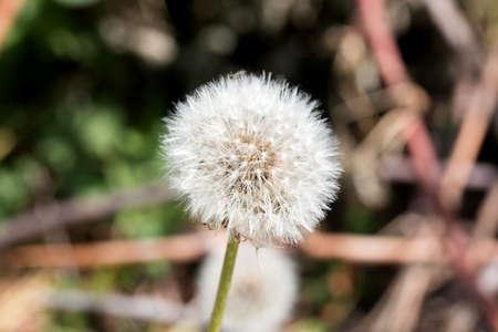 plants species: Taraxacum � un genere di piante fiorite in famiglia Asteraceae ed � costituito da specie comunemente noto come il dente di leone