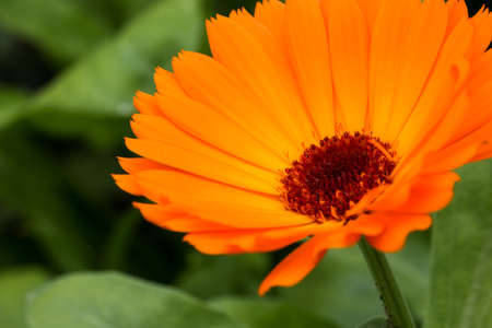 genus: Calendula  is a genus of about 15–20 species[2] of annual and perennial herbaceous plants in the daisy family Asteraceae that are often known as marigolds