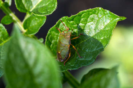 prasina: The green shield bug (Palomena prasina) is a shield bug of the family Pentatomidae Stock Photo