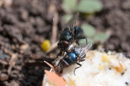 hairy legs: two blowflies on the ground eating