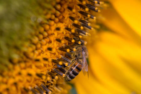 collecting: A bee collecting pollen on a flower sunflower