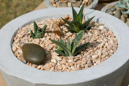 decorative house plant cactus grows on the rocks