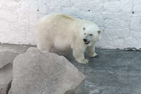 big behind: big polar bear standing behind a large stone
