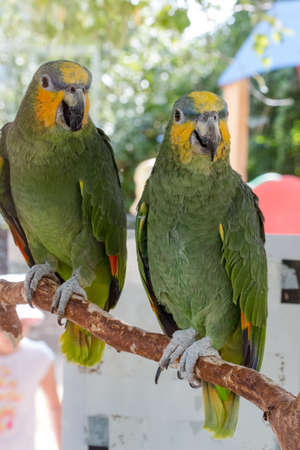 loros verdes: green parrots on a background green leaves