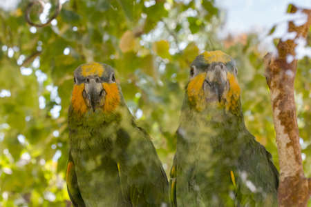 loros verdes: Two green parrots on a background green leaves