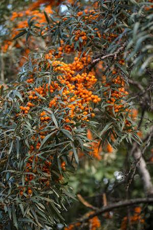 argousier: Argousier branche avec des fruits mûrs close-up
