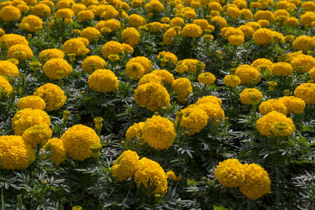 Tagetes is a genus of annual or perennial, mostly herbaceous plants in the sunflower family Asteraceae or Compositae Stock Photo