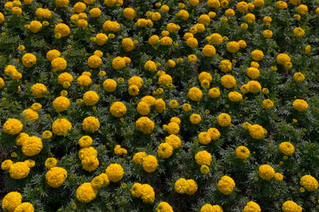 Tagetes is a genus of annual or perennial, mostly herbaceous plants in the sunflower family Asteraceae or Compositae Stok Fotoğraf