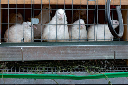 Poultry quail sits in a cage