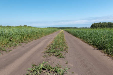 The dirt road goes beyond the horizon between the fields of wheat Фото со стока