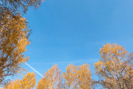 Blue sky surrounded by birches in autumn