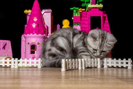 Scottish breed kitten plays around a dollhouse Stock Photo