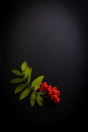 rowan leaves and berries on a black background i