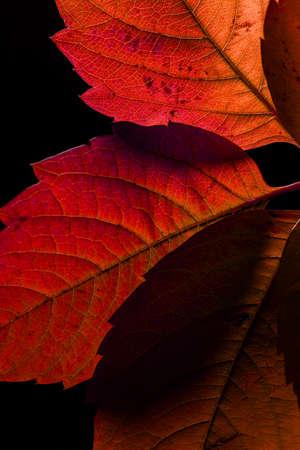 autumn leaves isolated on black background i