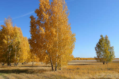 birch trees in the forest on a clear day in autumn 版權商用圖片