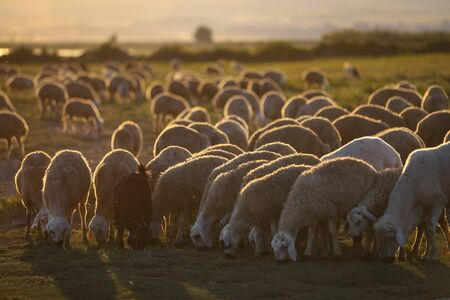 Sheep Herd Grazing at Sunset in Nevsehir, Turkey