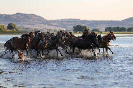 Yilki Horses Running in Water, Kayseri City, Turkey Stockfoto