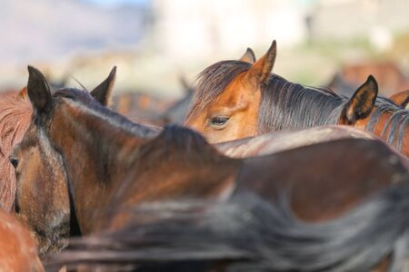 Un caballo Yilki en la ciudad de Kayseri, Turquía