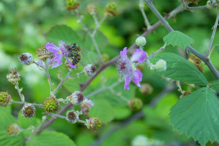 bee placed in blackberry flower in the forest