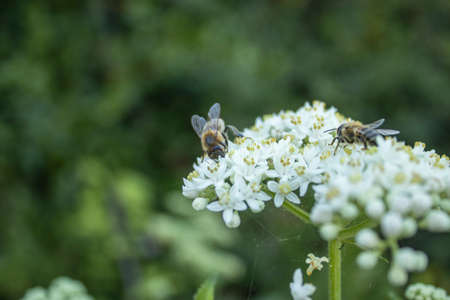 bee collecting honey from white wild flower in forest