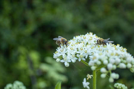 Honeybees collecting honey from white wild flower in forest