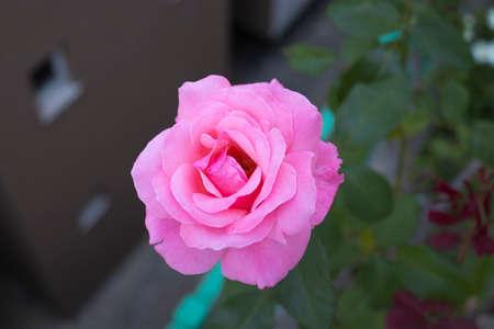 Top view of pink roseflower in the garden Imagens