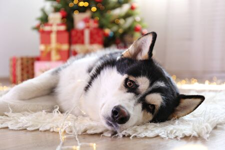 Black and white siberian husky on Christmas eve concept. Nine months old adorable doggy on the floor by the holiday tree with wrapped gift boxes. Festive background, close up, copy space. Stock Photo