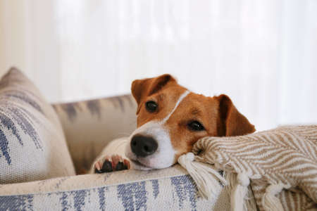 Curious Jack Russell Terrier puppy looking at the camera. Adorable dog with folded ears lying on the armchair at home with funny look on its face. Close up, copy space, background.