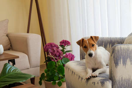 Curious Jack Russell Terrier puppy looking at the camera. Adorable dog with folded ears lying on the armchair at home with funny look on its face. Close up, copy space, background. Stok Fotoğraf