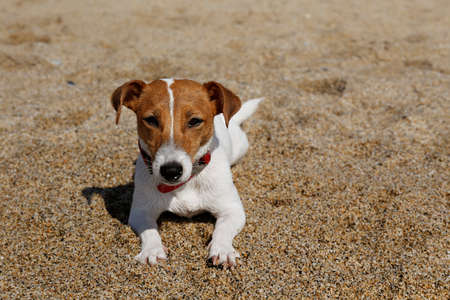 Funny looking jack russell terrier puppy at sandy beach with soft natural sun light. Adorable one year old dog with curious eyes. Portrait, close up, copy space, background.