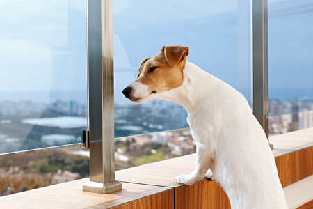 Jack Russell terrier is waiting for owner, looking at a huge window. Small adorable dog with funny fur stains sitting in anticipation of walk. Close up, copy space, background.