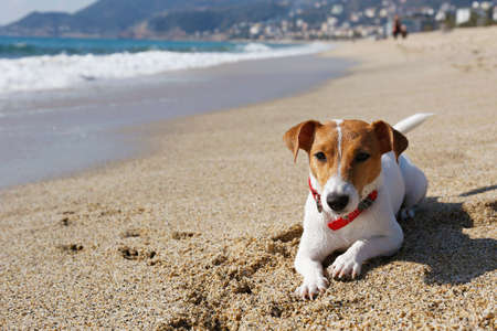 Funny looking jack russell terrier puppy at the sandy beach with soft natural sun light. Adorable one year old dog with curious eyes over ocean view background. Portrait, close up, copy space. 스톡 콘텐츠 - 154157607