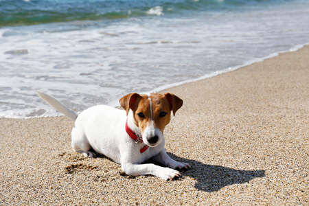 Funny looking jack russell terrier puppy at the sandy beach with soft natural sun light. Adorable one year old dog with curious eyes over ocean view background. Portrait, close up, copy space. Stok Fotoğraf