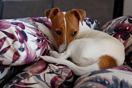 Cute one year old Jack Russel terrier puppy with folded ears chilling on bunch of cushions with colorful exotic palm tree leaf print. Adorable small breed dog. Close up, copy space, background.