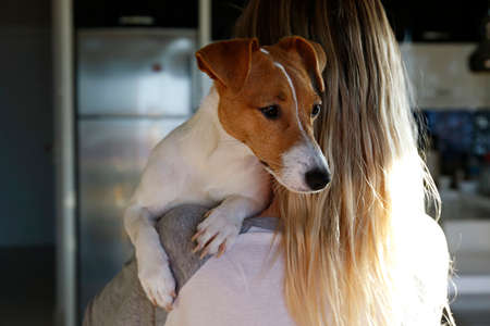 Back view of young beautiful woman holding & playing with cute one year old Jack Russel terrier puppy at home. Small adorable dog with funny fur stains on the face. Close up, copy space, background. 스톡 콘텐츠