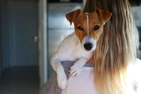 Back view of young beautiful woman holding & playing with cute one year old Jack Russel terrier puppy at home. Small adorable dog with funny fur stains on the face. Close up, copy space, background. Stok Fotoğraf